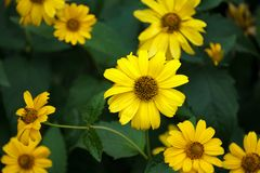 Πολλά κίτρινα λουλούδια σε ένα σκούρο πράσινο υπόβαθρο, λουλούδια υπό μορφή ανάπτυξης μαργαριτών στοκ φωτογραφίες
