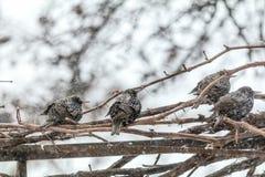 Πολλά κοινά ευρωπαϊκά πουλιά ψαρονιών στην άμπελο σταφυλιών ενώ χιονοπτώσεις στοκ εικόνες