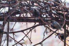 Πολλά κοινά ευρωπαϊκά πουλιά ψαρονιών στην άμπελο σταφυλιών ενώ χιονοπτώσεις στοκ εικόνα