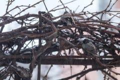 Πολλά κοινά ευρωπαϊκά πουλιά ψαρονιών στην άμπελο σταφυλιών ενώ χιονοπτώσεις στοκ φωτογραφίες