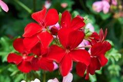 Πολλά κόκκινα λουλούδια στοκ εικόνες