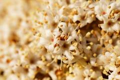 Πολλά λουλούδια κερασιών στο πλήρες πλαίσιο Στοκ Φωτογραφία