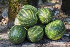 Πολλά μεγάλα γλυκά πράσινα καρπούζια Στοκ Εικόνα