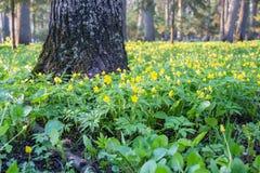 Πολλά μικρά κίτρινα λουλούδια σταθμεύουν την άνοιξη Στοκ Φωτογραφία