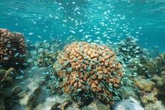 Πολλά μικρά μπλε ψάρια γύρω από το Ειρηνικό Ωκεανό κοραλλιών Στοκ εικόνα με δικαίωμα ελεύθερης χρήσης