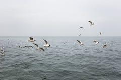 Πολλά πεινασμένα seagulls που πετούν στη νεφελώδη θάλασσα Στοκ εικόνες με δικαίωμα ελεύθερης χρήσης