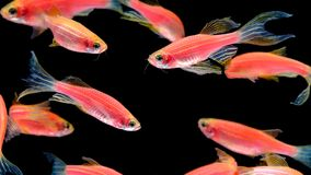 Πολλά πορτοκαλιά ζέβρ ψάρια ζουν μαζί σε ένα φωτεινό, εύθυμο swimm στοκ εικόνες με δικαίωμα ελεύθερης χρήσης