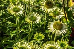 Πολλά πράσινα λουλούδια του κοσμήματος Echinacea στον αιώνιο κήπο Στοκ Φωτογραφία