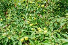 Πολλά πράσινα μήλα στους κλάδους μεγάλη συγκομιδή Στοκ φωτογραφία με δικαίωμα ελεύθερης χρήσης