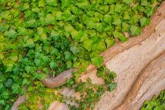 Πολλά πράσινα φύλλα με δύο ξηρούς κλάδους στο δέντρο Στοκ Εικόνα