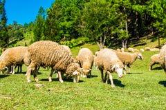 Πολλά πρόβατα ταΐζουν τη χλόη όμορφη φύση στοκ εικόνες