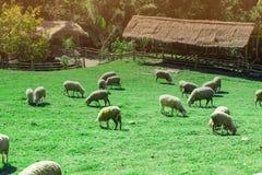 Πολλά πρόβατα ταΐζουν τη χλόη όμορφη φύση στοκ φωτογραφίες
