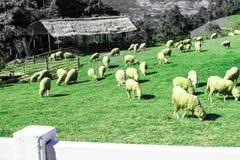 Πολλά πρόβατα ταΐζουν τη χλόη όμορφη φύση στοκ φωτογραφία