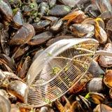 Πολλά φρέσκα βρασμένα μύδια εύγευστος ξηρός δεμάτων - απομονωμένο καρπός λευκό γραμμάτων Τ θαλασσινών Τρόφιμα οστρακόδερμων Στοκ φωτογραφία με δικαίωμα ελεύθερης χρήσης