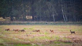 Πολλά deers αυγοτάραχων σε μια σειρά που περπατά πέρα από έναν τομέα Στοκ φωτογραφία με δικαίωμα ελεύθερης χρήσης