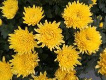 Πολλά marigolds το φθινόπωρο Στοκ φωτογραφία με δικαίωμα ελεύθερης χρήσης