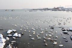 πολλά swans2 Στοκ φωτογραφία με δικαίωμα ελεύθερης χρήσης