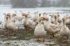 Πολλές άσπρες χήνες σε ένα snovy λιβάδι το χειμώνα στοκ φωτογραφία με δικαίωμα ελεύθερης χρήσης