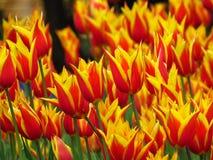 Πολλές κόκκινες ανθίζοντας τουλίπες με το αιχμηρό είδος Aladin πετάλων, και κίτρινες άκρες στοκ φωτογραφία