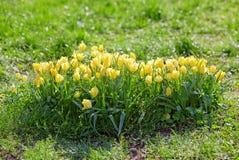 Πολλές μικρές κίτρινες τουλίπες στοκ φωτογραφία με δικαίωμα ελεύθερης χρήσης