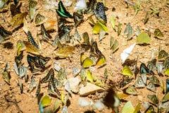Πολλές πεταλούδες pieridae που συλλέγουν το νερό στο πάτωμα, πεταλούδες Στοκ εικόνες με δικαίωμα ελεύθερης χρήσης