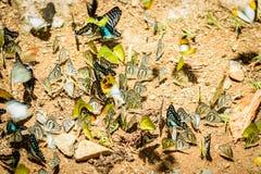 Πολλές πεταλούδες pieridae που συλλέγουν το νερό στο πάτωμα, πεταλούδες Στοκ Εικόνα