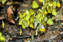 Πολλές πεταλούδες pieridae ταΐζουν το μετάλλευμα στο αλατισμένο έλος στο φ Στοκ φωτογραφίες με δικαίωμα ελεύθερης χρήσης