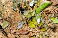 Πολλές πεταλούδες pieridae ταΐζουν το μετάλλευμα στο αλατισμένο έλος στο φ Στοκ φωτογραφία με δικαίωμα ελεύθερης χρήσης