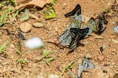 Πολλές πεταλούδες pieridae ταΐζουν το μετάλλευμα στο αλατισμένο έλος στο φ Στοκ Φωτογραφία