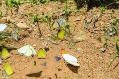 Πολλές πεταλούδες pieridae ταΐζουν το μετάλλευμα στο αλατισμένο έλος στο φ Στοκ εικόνα με δικαίωμα ελεύθερης χρήσης