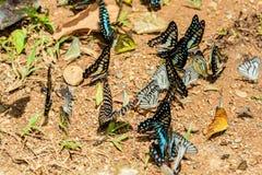Πολλές πεταλούδες pieridae ταΐζουν το μετάλλευμα στο αλατισμένο έλος στο φ Στοκ Εικόνες