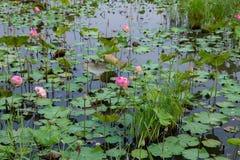 Πολλή άνθιση Lotus στη λίμνη στοκ εικόνα με δικαίωμα ελεύθερης χρήσης