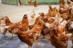 Πολλή κότα κοτόπουλου στο εκλεκτής ποιότητας πάτωμα για το ζωικό υπόβαθρο Στοκ εικόνα με δικαίωμα ελεύθερης χρήσης