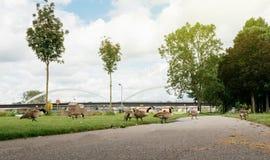 Πολλαπλάσια γιγαντιαία πουλιά χήνων καναδοχηνών που στηρίζονται το φαγητό σε φρέσκο Στοκ Εικόνες
