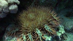 Πολλαπλής δέσμης ακιδωτή κορώνα αστεριών της υποβρύχιας Ερυθράς Θάλασσας planci Acanthaster αγκαθιών απόθεμα βίντεο