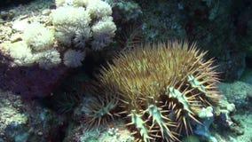 Πολλαπλής δέσμης ακιδωτή κορώνα αστεριών της υποβρύχιας Ερυθράς Θάλασσας planci Acanthaster αγκαθιών φιλμ μικρού μήκους