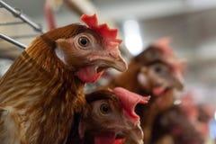 Πολλαπλής στάθμης γραμμή παραγωγής μεταφορέων γραμμών παραγωγής των αυγών κοτόπουλου ενός φάρματος πουλερικών στοκ εικόνα