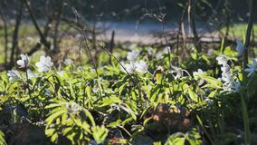 Πολλοί αναπηδούν anemones με τα άσπρα λουλούδια που ταλαντεύονται στον αέρα σε ένα ηλιόλουστο δασικό ξέφωτο φιλμ μικρού μήκους