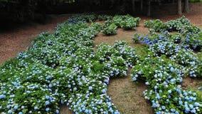 Πολλοί ανθίζοντας μπλε και άσπροι θάμνοι hydrangea αυξάνονται στο πάρκο Τηλεοπτική μαγνητοσκόπηση Aero απόθεμα βίντεο