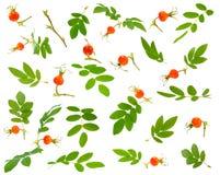 Πολλοί διάφοροι κλάδοι, φύλλα και μούρα του dogrose σε διάφορο στοκ φωτογραφία
