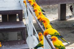 Πολλοί κίτρινος και πορτοκαλής παπαγάλος σε ένα μεγάλο κλουβί Ταϊλάνδη Στοκ Φωτογραφίες