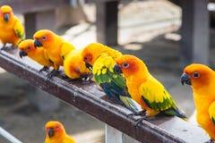 Πολλοί κίτρινος και πορτοκαλής παπαγάλος σε ένα μεγάλο κλουβί Ταϊλάνδη Στοκ εικόνα με δικαίωμα ελεύθερης χρήσης