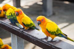 Πολλοί κίτρινος και πορτοκαλής παπαγάλος σε ένα μεγάλο κλουβί Ταϊλάνδη Στοκ Εικόνες