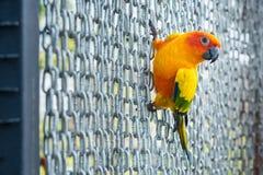 Πολλοί κίτρινος και πορτοκαλής παπαγάλος σε ένα μεγάλο κλουβί Ταϊλάνδη Στοκ φωτογραφία με δικαίωμα ελεύθερης χρήσης
