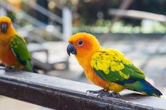 Πολλοί κίτρινος και πορτοκαλής παπαγάλος σε ένα μεγάλο κλουβί Ταϊλάνδη Στοκ Φωτογραφία