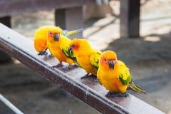 Πολλοί κίτρινος και πορτοκαλής παπαγάλος σε ένα μεγάλο κλουβί Ταϊλάνδη Στοκ εικόνες με δικαίωμα ελεύθερης χρήσης