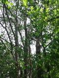 πολλοί κορμοί και κλάδοι δέντρων συνδυάζονται Δάσος στοκ εικόνες με δικαίωμα ελεύθερης χρήσης
