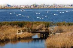 Πολλοί κόκκινος-στεμμένοι γερανοί που πετούν στο μπλε νερό της λίμνης στοκ εικόνες