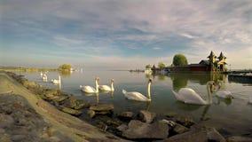 Πολλοί κύκνοι στο νερό στη λίμνη Balaton της Ουγγαρίας, κοντά στο μικρού χωριού Keszthely απόθεμα βίντεο