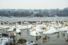 Πολλοί κύκνοι στο χειμώνα ποταμών Στοκ εικόνα με δικαίωμα ελεύθερης χρήσης